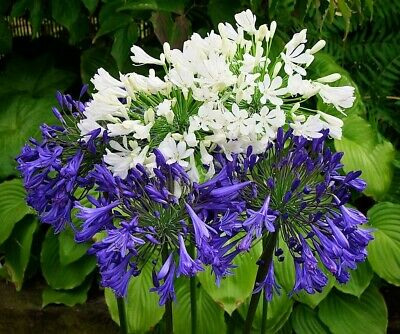 New Agapanthus Starbust Blue Hardy Garden Perennial Plant Ex 9cm
