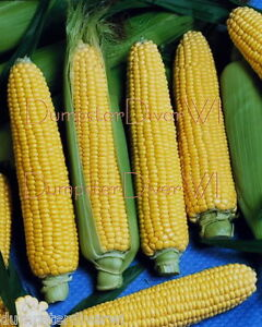 Early-Sunglow-CORN-40-seeds-VERY-EARLY-amp-SWEET-Yellow-Hybrid-NON-GMO