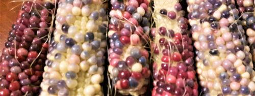 blue and white sweetcorn novel edible crop pack of seed Glass Gem Corn purple