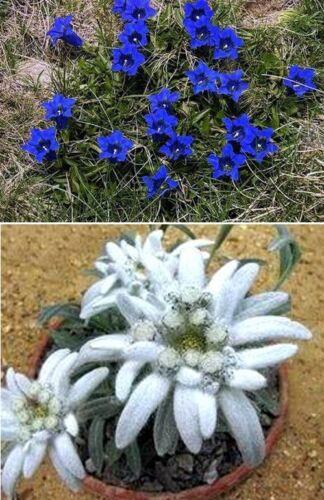 Die Stars aus den Alpen für drinnen /& draußen Edelweiß /& blauer Enzian Saatgut