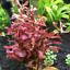 x3-Ammania-Gracilis-Potted-Freshwater-Live-Aquarium-Tropical-Plant-Decorations thumbnail 2