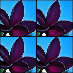 Frangipani-Plumeria-lt-BLACK-WIDOW-gt-Tree-10-Seeds