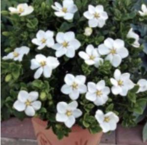 20//25 cm 9 h Gardenia Kleim/'s Hardy vaso cm