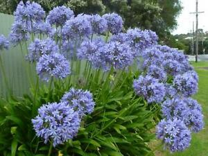 40-x-Old-Fashioned-Blue-Agapanthus-Non-Hybrid-Seeds-Heritage-Cottage-Garden-0-2