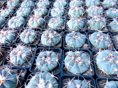 Blue Cactus No Ariocarpus Aztekium 2in 1 Plant Echinocactus Horizonthalonius