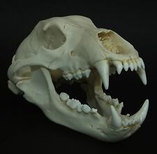 GRIZZLY BEAR SKULL REPLICA (REAL SIZE)
