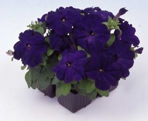 50-Pelleted-Seeds-Logro-Blue-Petunia-Seeds-Large-Flowers