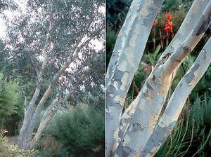 ALPINE-SNOW-GUM-Eucalyptus-pauciflora-ssp-niphophila-50-seeds