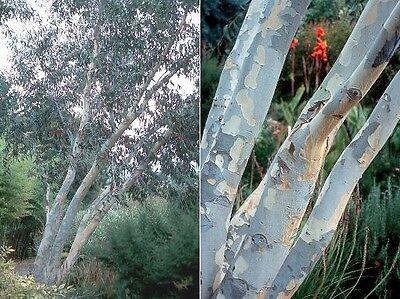 ALPINE SNOW GUM (Eucalyptus pauciflora ssp niphophila) 50 seeds