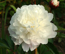 1 Peony Shirley Temple White Color Flower Bulb Summer Blooming