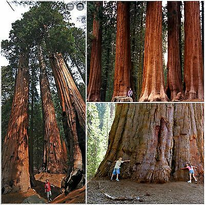 50 seeds of Sequoiadendron Giganteum,Giant Sequoia, seed , C