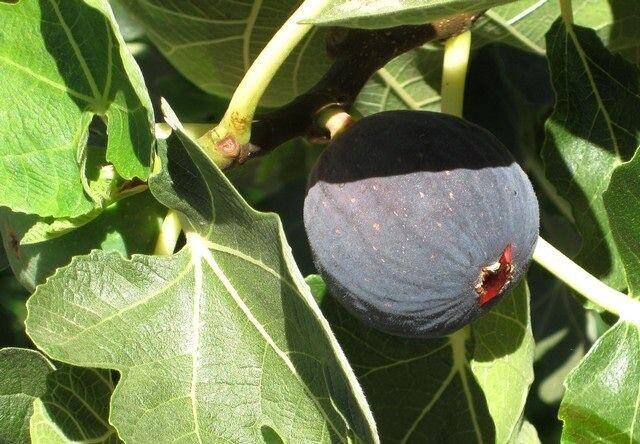 4 black Madeira fig tree cuttings self fertile ( ficus carica )