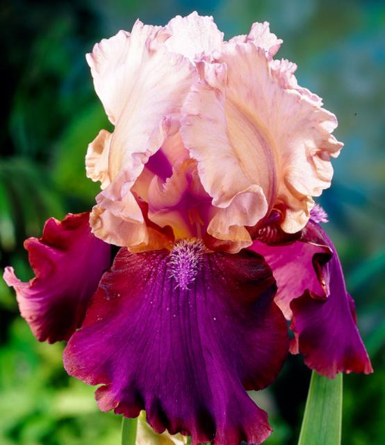 2 Iris Bulbs Perennial Bearded Flowers Rhizome Home Planting Bonsai Potted Decor