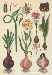 BULBS-GARLIC-ONION-TULIP-CROCUS-POSTCARD-BOTANICUM-Kew-Royal-Botanic-Gardens