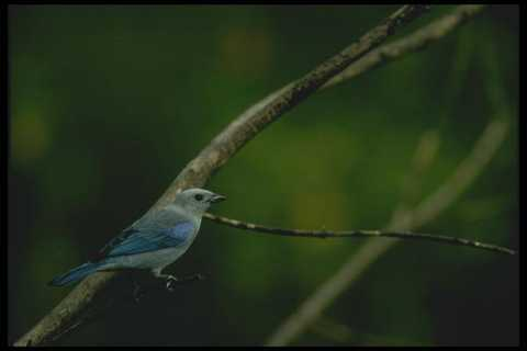008195 Blue Gray Tanager A4 Photo Print