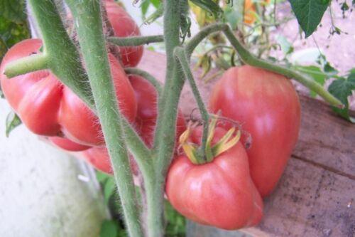 20 semences Tomate Hungarian Heart voir photo couleur rouge