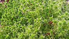 250g SPHAGNUM MOSS, AMPHIBIANS,REPTILES, VIVARIUM, TERRARIUM, ORCHIDS, PLANTS