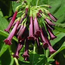 IOCHROMA CYANEUM TUBULOSA (mini Brugmansia) Purple Bush Sorcerer's Tree-10 seeds