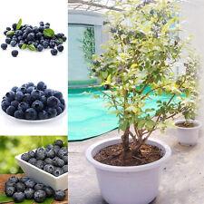 50Pcs Blueberry Tree Seeds Fruit Garden Yard Sweet Bonsai Plant Potted Spring