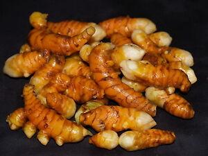 5-Rhizomes-frais-de-CURCUMA-Curcuma-longa-TUMERIC-ANTIOXYDANT-NATUREL