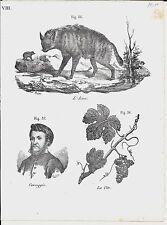 1837ca IENA - CORREGGIO - VITE 3 litografie Magazzino Pittorico Hyaenidae vitis