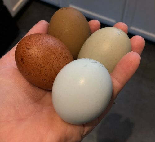 6 Colorful Egg Layer Hatching Eggs