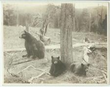 c1920s Bear and Two Cubs photograph by Haynes, St. Paul No. 16344