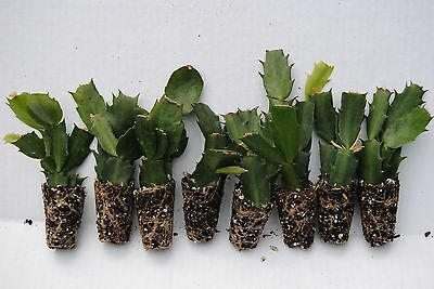 Christmas Cactus.U Pick Any 8 Christmas Cactus Schlumbergera Plants 125 Varieties To Choose From Ebay