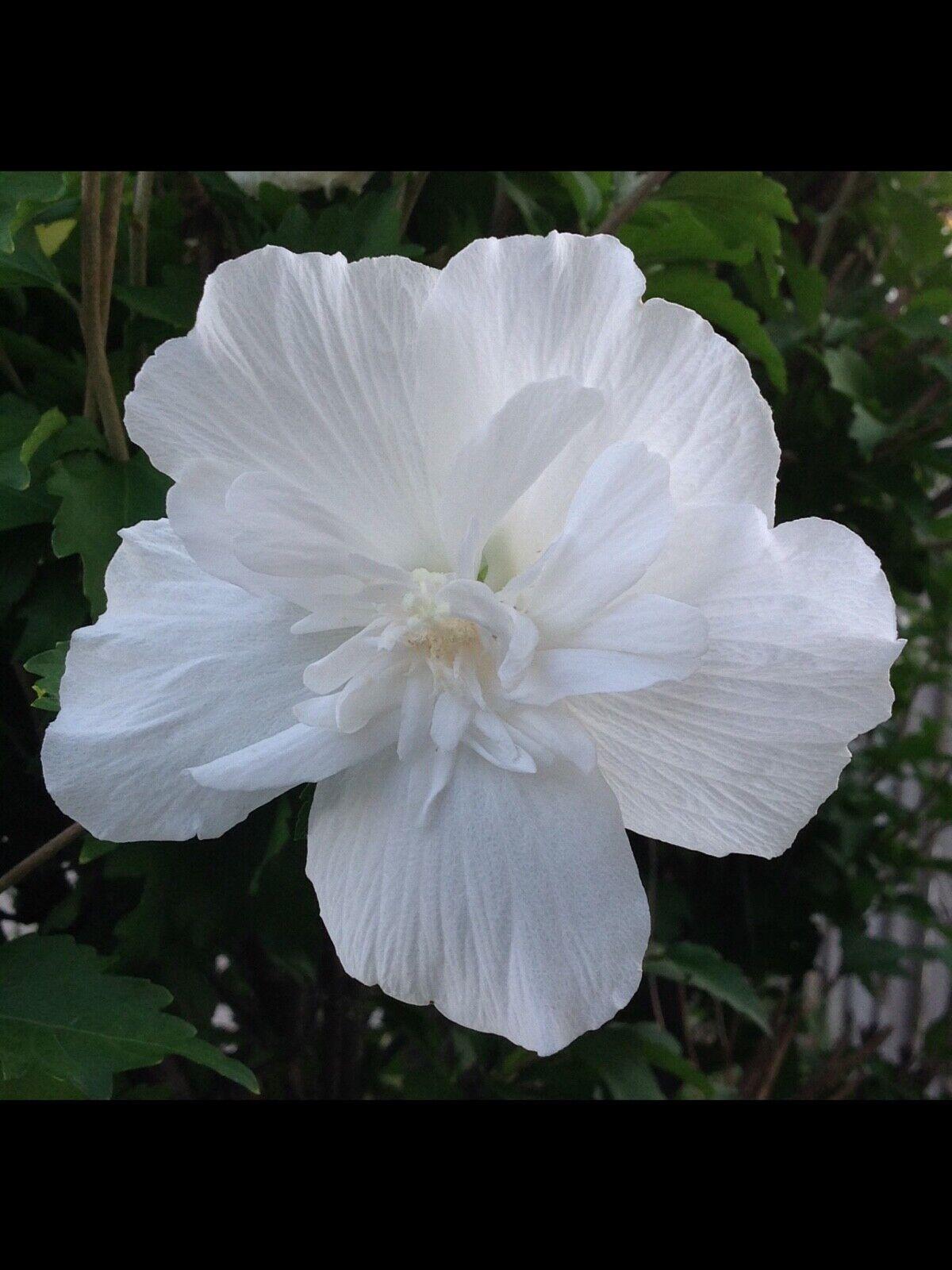 'White Chiffon' Rose of Sharon Perennial dbl flower, tall shrub seeds *butterfly