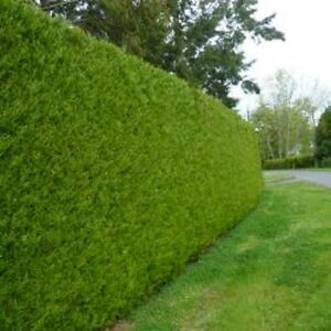 24 x hedging thuja evergreen giant trees thick growing privacy