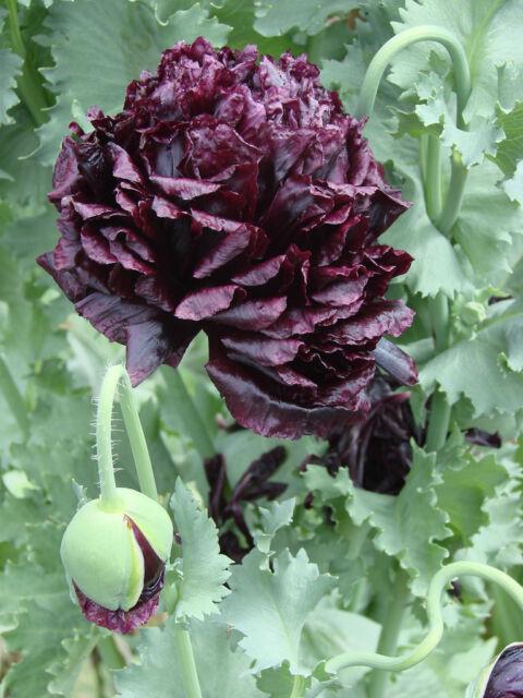 Papaver 'Black Peony' Paeoniflorum Poppy - 500 Seeds - Hardy Annual