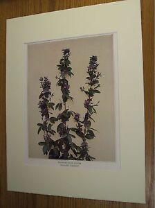 Vintage-1921-Botanical-Wildflower-Matted-Art-Print-Wandlike-Bush-Clover