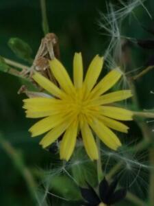 50-Semillas-Lactuca-virosa-organico-lechuga-silvestre