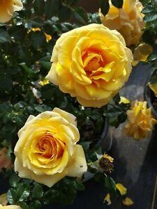 Plant Floribunda Rose Plants Fine Roses