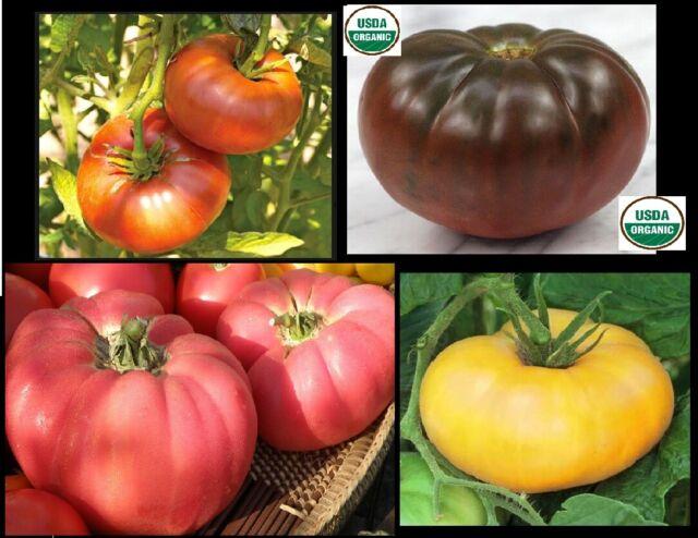 Tomato POTATO LEAF BRANDYWINE YELLOW 25 Heirloom Seeds   FREE  Shipping