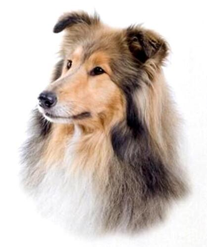 """sable DOG HEAD on ONE 16/"""" fabric panel to Sew.Actual Pic 8/""""x 11/"""". COLLIE ROUGH"""