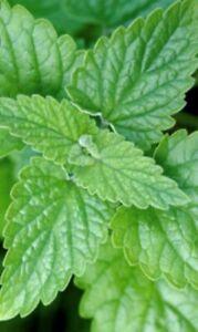 Catnip Seeds | Non-GMO | Fresh Garden Seeds