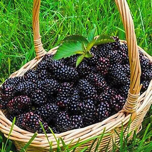 Details About 200 Pcs Giant Thornless Blackberry Seeds Fruit Vegetable Seed Home Garden Plant