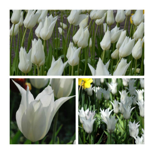 White Triumphator Lily Tulip x 10 Bulbs.Pure White Lily Flowers