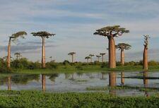 10 seeds of Adansonia grandidieri,  Baobab Tree