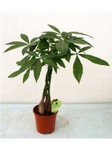 Pachira piante da interno pianta da appartamento - Piante da interno resistenti ...