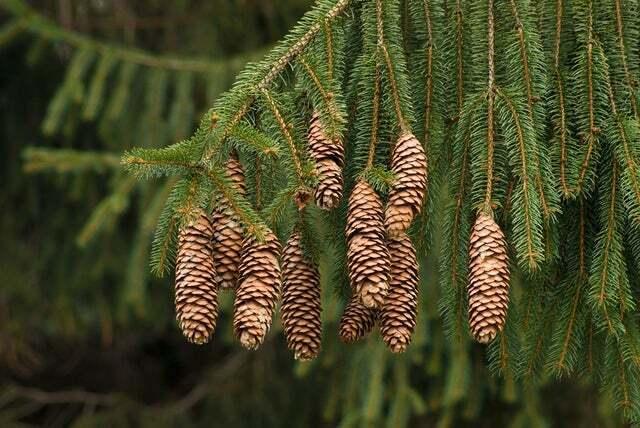 Norway Spruce Tree Seeds - 50 Seeds -Beautiful Evergreen Tree Seeds- Picea Abies