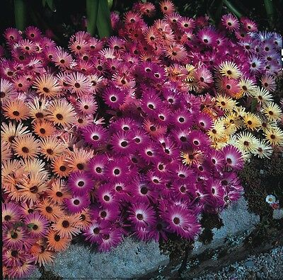 Flower - Mesembryanthemum Magic Carpet Mixed 2000 Seed