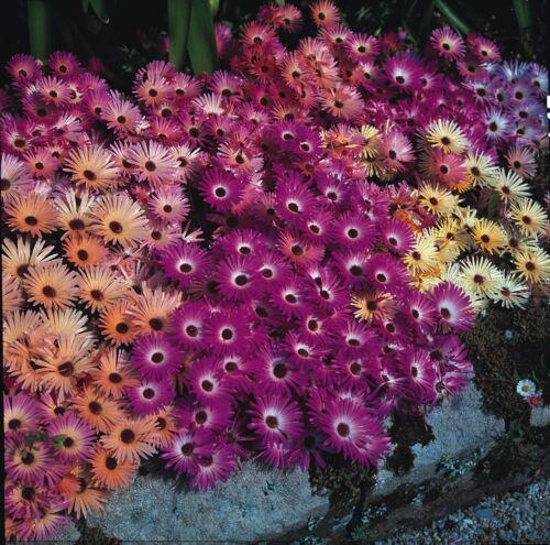 Mesembryanthemum Fliegender Teppich Gemischte 2000 Samen Blumen