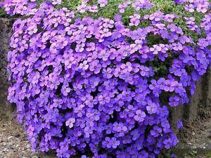 6-Large-flowering-Aubretia-Audrey-Purple-shades-perennial-Plug-Plants