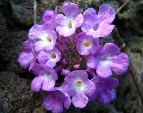 Purple Trailing Lantana   Lantana montevidensis   10 Seeds Free US Shipping