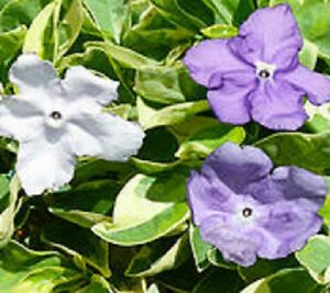 Fragrant delight brunfelsia variegated scented blue white flowers image is loading fragrant delight brunfelsia variegated scented blue white flowers mightylinksfo