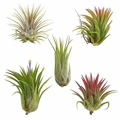 Tillandsia Ionantha Assorted 5 Pack Color Changing Air Plants Free