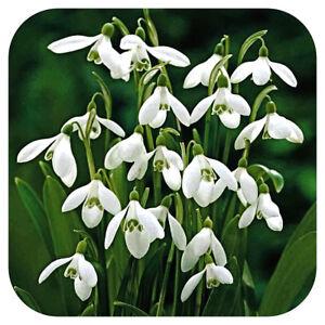 Snowdrops-Galanthus-039-woronowii-ikariae-039-x-50-Single-Snowdrop-Bulbs-Spring-Bulbs