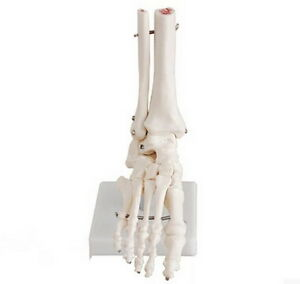 Life-Size-Foot-Ankle-Joint-Anatomical-Model-Skeleton-Human-Medical-Anatomy-T